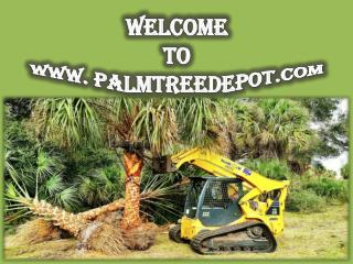 Sabal Palm Trees for Sale in South Carolina at Palm Tree Depot