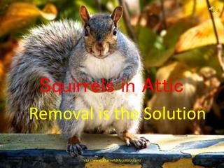 Squirrels in Attic