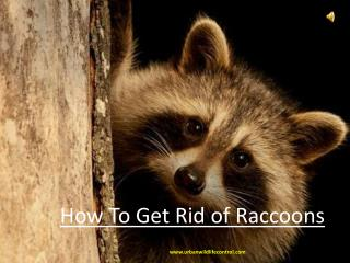 How To Get Rid of Raccoons?
