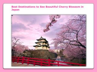 Beautiful Cherry Blossom in Japan