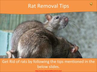 Rat Removal Tips