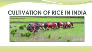 CULTIVATION OF RICE IN INDIA
