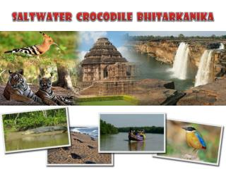 saltwater crocodile bhitarkanika