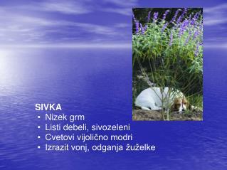 SIVKA Nizek grm Listi debeli, sivozeleni Cvetovi vijolicno modri Izrazit vonj, odganja  u elke