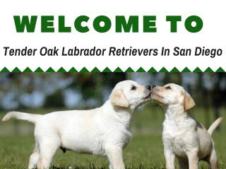 California's Premier Labradors Retrievers