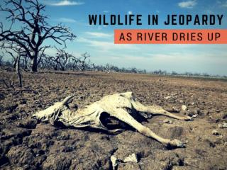 Wildlife in jeopardy as river dries up