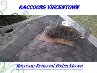Raccoons Vincentown