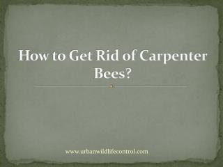 How to Get Rid of Carpenter Bees?