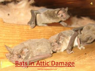 Bats in Attic Damage