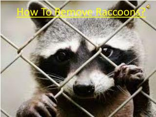 How To Remove Raccoons?