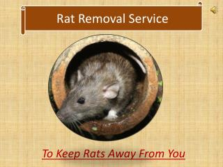Rat Removal Service