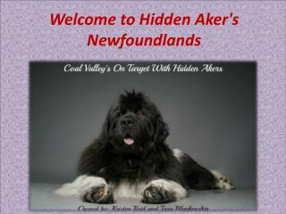 Welcome to Hidden Aker's Newfoundlands