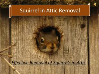 Squirrels in Attic Removal