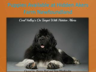 Puppies Available at Hidden Akers Farm Newfoundland