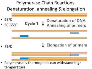 Polymerase Chain Reactions: Denaturation, annealing  elongation