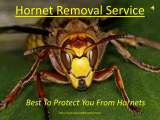 Hornet Removal Service