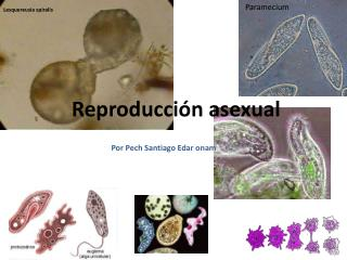 Reproducci n asexual