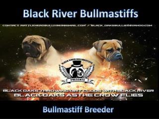 Bullmastiff  Breeder | Blackriver Bullmastiff