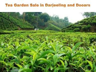 Tea Garden Sale in Darjeeling and Dooars