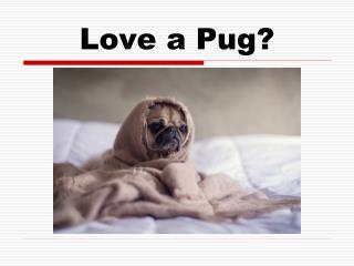 Pug Acting Like Human