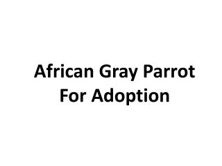 african gray parrot for adoption