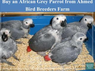 Buy an African Grey Parrot from Ahmed Bird Breeders Farm