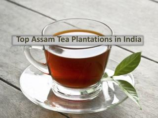 Top Assam Tea Plantations in India