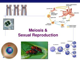 Meiosis  Sexual Reproduction