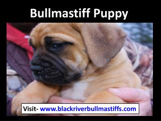Bullmastiff puppy | Black River Bullmastiffs