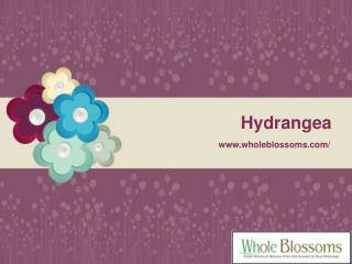 Wholesale Hydrangeas - www.wholeblossoms.com