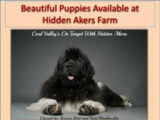 Beautiful Puppies Available at Hidden Akers Farm
