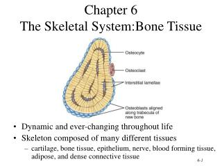 Chapter 6 The Skeletal System:Bone Tissue