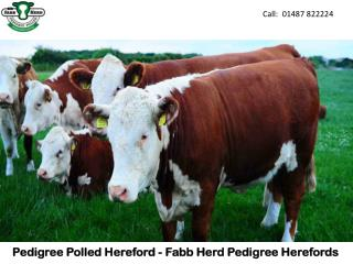 Pedigree Polled Hereford - Fabb Herd Pedigree Herefords