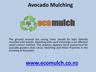 Avocado mulching