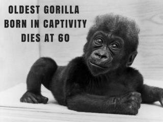 Oldest gorilla born in captivity dies at 60