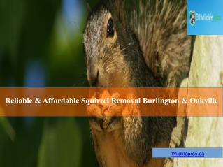 Reliable And Affordable Squirrel Removal Burlington & Oakville