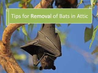Tips for Removal of Bats in Attic