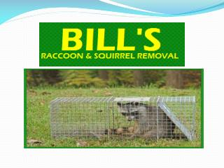 Raccoon , Squirrel Removal Vincentown and Cherry Hill nj