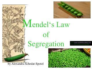 Mendel s Law  of  Segregation