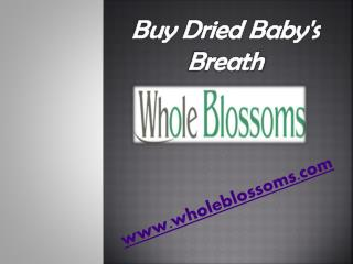Buy Dried Baby's Breath - www.wholeblossoms.com