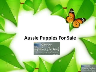Aussie Puppies For Sale