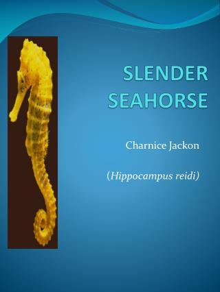 SLENDER SEAHORSE