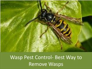 Wasp Pest Control- Best Way to Remove Wasps