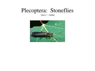 Plecoptera:  Stoneflies  pleco   folded