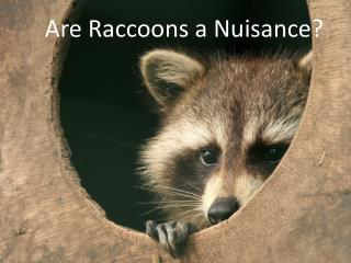 Are Raccoons a Nuisance