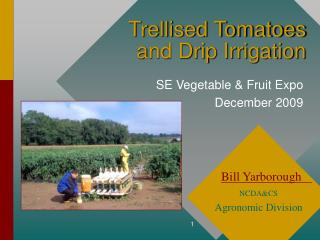 Trellised Tomatoes  and Drip Irrigation