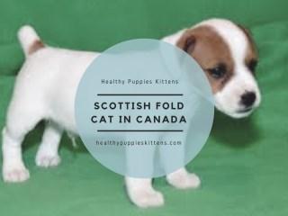 Scottish Fold Cat in Canada