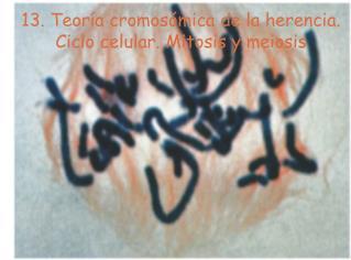 13. Teor a cromos mica de la herencia.  Ciclo celular. Mitosis y meiosis
