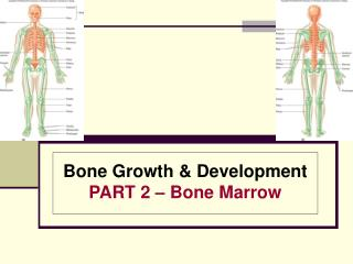 Bone Growth  Development PART 2   Bone Marrow