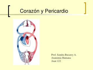 Coraz n y Pericardio